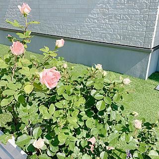 Instagram→yuzuhi77/京成バラ/初投稿/パシュミナ/薔薇のある暮らし...などのインテリア実例 - 2020-06-07 10:00:41