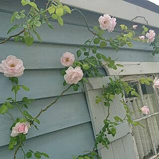 部屋全体/ホワイトインテリア/garden/お庭の花/薔薇...などのインテリア実例 - 2019-09-20 21:39:39