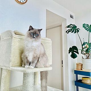 IKEAワゴン/ねこのいる日常/ラグドール/猫大好き♡/ねこばかりすみませんm(._.)m...などのインテリア実例 - 2021-01-22 12:09:26