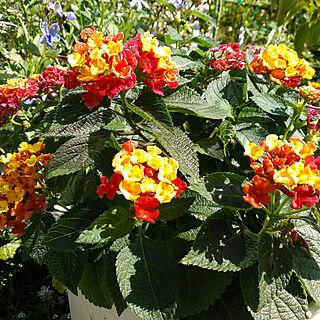 棚/ランタナ/花壇/ガーデニング/鉢植え...などのインテリア実例 - 2017-10-18 12:00:35