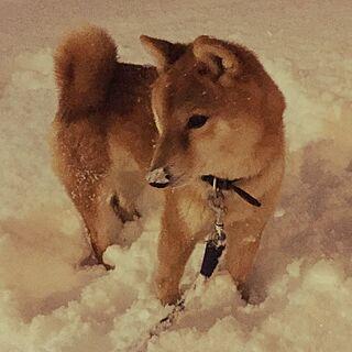 もしもし、雪…ついてますよ(^ω^)/寒いっ‼︎/番犬/インテリアじゃなくてごめんなさい/こどもと暮らす...などのインテリア実例 - 2017-01-20 14:44:02