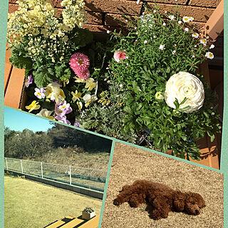 春のお花達/寄せ植え用/フェンス完成/ドッグラン/庭のある暮らし...などのインテリア実例 - 2020-02-21 23:05:36