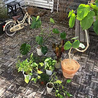 ウッドパネル/IKEA/観葉植物/水やり/ウンベラータ...などのインテリア実例 - 2020-02-23 15:32:46