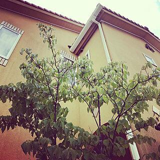 ヤマボウシの花が咲かない/ヤマボウシ/玄関/玄関/入り口のインテリア実例 - 2019-06-03 17:25:00