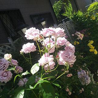 玄関/入り口/バラ/薔薇/ばら/ローズ/ローズガーデン...などのインテリア実例 - 2019-05-30 10:39:47