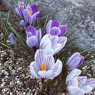 ベッド周り/2018.3.14☀/クロッカス/花壇/花のある暮らし...などのインテリア実例 - 2018-03-14 17:34:16