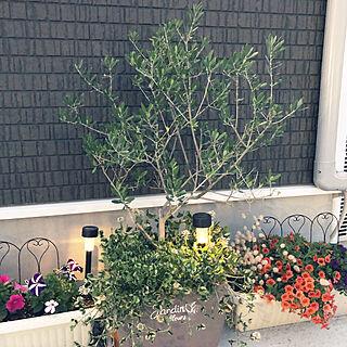 玄関前ガーデニング/イングリッシュガーデンに憧れて/ずっと外にいたい/オリーブの鉢植え/夕暮れ...などのインテリア実例 - 2020-05-30 20:14:29