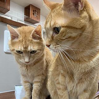 猫/猫と暮らす/ねこと暮らす/ねこのいる暮らし/スーパー強化壁紙...などのインテリア実例 - 2020-02-27 08:17:29
