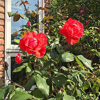 ベッド周り/スカーレット.クィーン.エリザベス/花のある暮らし/ガーデニング♡/庭が好き♡...などのインテリア実例 - 2017-05-21 09:27:33
