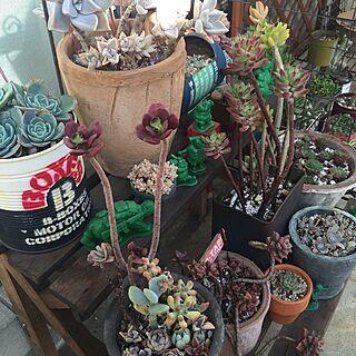 棚/多肉植物/JUNK GARDEN/NO GREEN NO LIFE/植物のインテリア実例 - 2016-11-30 09:48:07
