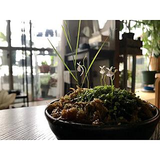 机/小鉢/セリア/食虫植物/植物のある暮らし/築20年...などのインテリア実例 - 2018-05-13 21:00:26