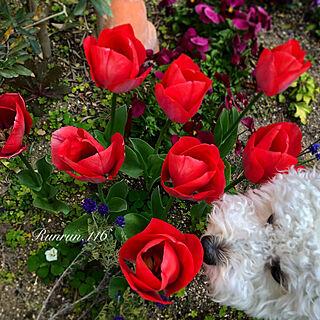 花のある暮らし/トイプードル/ガーデニング/ガーデン/お庭...などのインテリア実例 - 2020-03-27 10:32:07