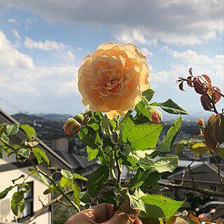 女性51歳の家族暮らし4LDK、庭の薔薇に関するjewel-ynmさんの実例写真