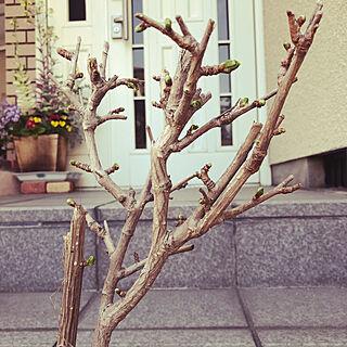 イチョウ/銀杏の木/植物のある暮らし/部屋全体のインテリア実例 - 2021-04-01 08:31:02