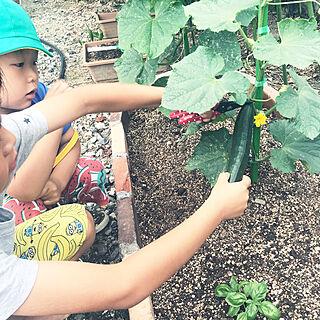 花壇DIY/キュウリ栽培/家庭菜園の収穫/家庭菜園/いつもイイね!ありがとうございます♪...などのインテリア実例 - 2019-06-04 07:58:16