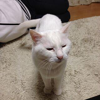 リビング/白猫/ねこと暮らす/ねこばかりですいません/ねこ部...などのインテリア実例 - 2016-05-18 22:56:49
