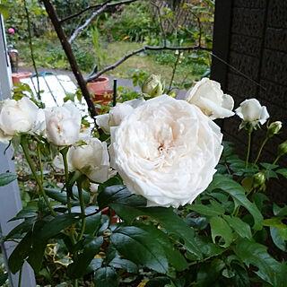 女性50歳の家族暮らし4LDK、オールドローズ 花が好きに関するyum0408さんの実例写真