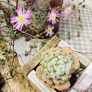 お花が咲いた/ワイヤープランツ/お庭/JUNK GARDEN/多肉植物...などのインテリア実例 - 2021-06-12 09:48:05