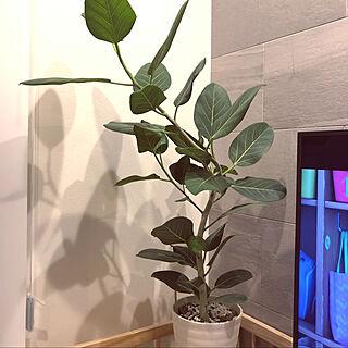 フィカス ベンガレンシス/観葉植物/グリーンのある暮らし/リビングのインテリア実例 - 2020-08-09 21:06:17