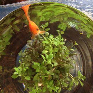 、金魚に関するさんの実例写真