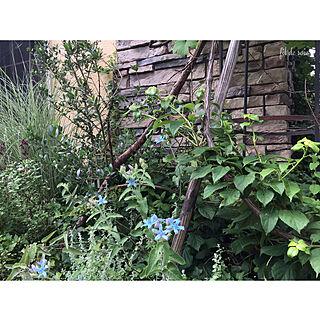 2019.6.11/斑入りグラス/群馬より♪/ブルースター/手探りの庭...などのインテリア実例 - 2019-06-11 20:41:55