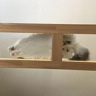 猫/肉球/アクリル板/猫と暮らす家/キャットブリッジ...などのインテリア実例 - 2019-09-25 12:52:55