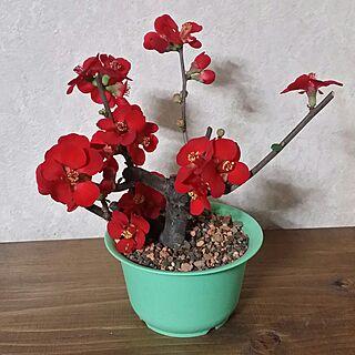 ボケの花の人気の写真(RoomNo.2199007)