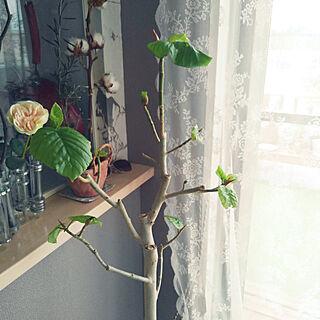 キッチン/ウンベラーダ/観葉植物のある暮らし/ウンべラータ大きくしたいのインテリア実例 - 2018-10-04 09:11:03