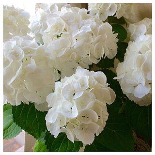 白い紫陽花/リビングのインテリア実例 - 2016-06-06 22:32:07