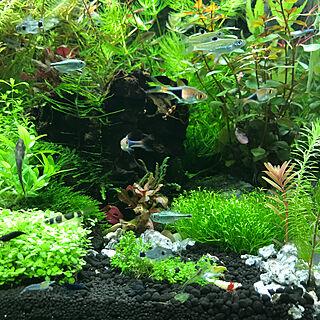 男性32歳の家族暮らし、熱帯魚に関するkouta_Co.さんの実例写真