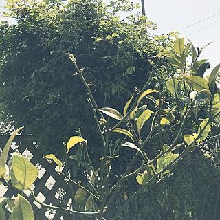 玄関/入り口/マイヤーレモン/白のモッコウバラ/お花のある暮らし/お庭の植物のインテリア実例 - 2018-04-03 13:00:37