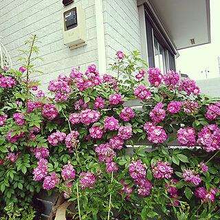 玄関/入り口/グリーンのある暮らし/にわ/ねこのひたい/バラ...などのインテリア実例 - 2018-05-17 16:05:27