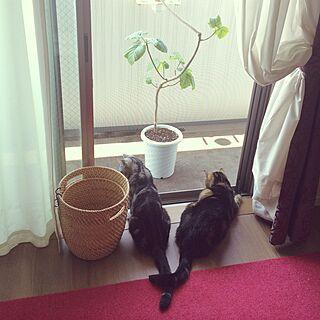 ウンベラータ/ねこバカ部/ねこばかりですいません/猫との生活/RC美魔女同盟...などのインテリア実例 - 2015-05-31 09:45:32