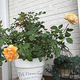 インフィニティローズ/2019.5.29/薔薇/お花/鉢植え...などのインテリア実例 - 2019-05-29 19:46:33