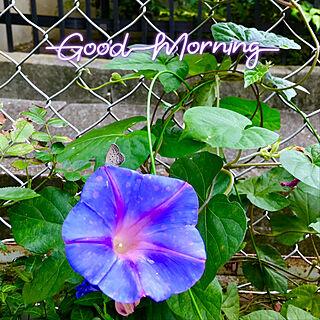 朝顔と蝶々/花のある暮らし/おはようございます♪(๑ᴖ◡ᴖ๑)♪/お花大好き♡/いいね♪いつもありがとうございます❤️...などのインテリア実例 - 2019-08-05 07:03:59