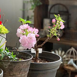 2020.3.28/ガーデン雑貨/ベランダ/花のある暮らし/植物のある暮らし...などのインテリア実例 - 2020-03-28 09:15:42