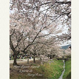 リビング/桜並木/桜/心の安心/くつろぎ空間...などのインテリア実例 - 2017-04-09 17:03:48