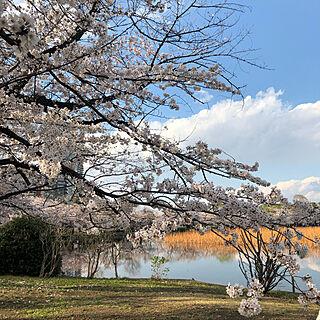 桜/上野恩賜公園/玄関/入り口のインテリア実例 - 2019-04-01 19:05:57