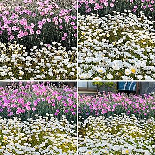 庭/撫子/ノースポール/春の花/リナリア...などのインテリア実例 - 2021-04-17 11:29:28