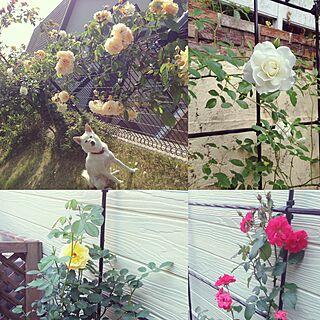 玄関/入り口/薔薇のある暮らし/南側の庭/東側の花壇/花壇DIY...などのインテリア実例 - 2016-11-21 12:30:19
