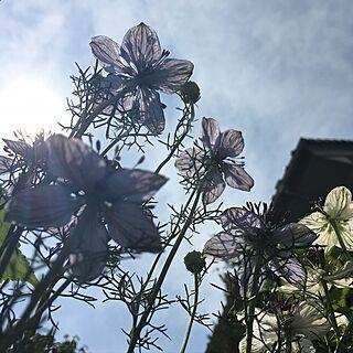 リビング/ニゲラ/日替わり投稿企画!木曜日/植物/花のある暮らし...などのインテリア実例 - 2017-06-01 13:45:10