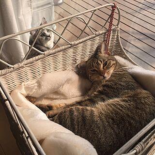 玄関/入り口/実家帰省中/ねこのいる風景/猫と暮らす。/多頭飼い...などのインテリア実例 - 2016-02-27 16:57:00