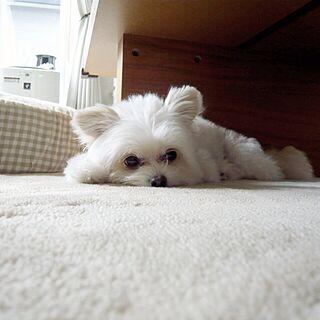 リビング/ホワイトインテリア/犬部♪/ワンコ部U^ェ^U/くるり...などのインテリア実例 - 2014-10-18 15:03:42