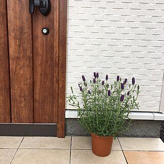 玄関/入り口/ハーブのある暮らし/ガーデン計画中/グリーンのある暮らし/ラベンダー 花うさぎ...などのインテリア実例 - 2017-05-11 21:14:26