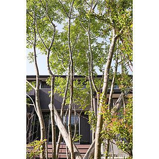 外観/ウッドデッキ/シンボルツリー/植物のある暮らし/アオダモ...などのインテリア実例 - 2021-05-10 17:37:41