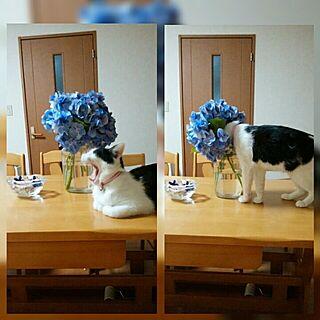 リビング/花が好き/猫のいる日常/いつもいいね!ありがとうございます♪/猫が好き...などのインテリア実例 - 2017-06-29 12:16:07