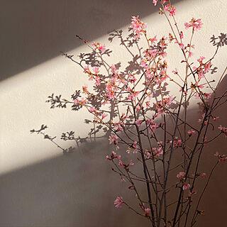 リビング/桜の花/桜の枝/花のある暮らし/壁/天井のインテリア実例 - 2021-02-06 18:03:35