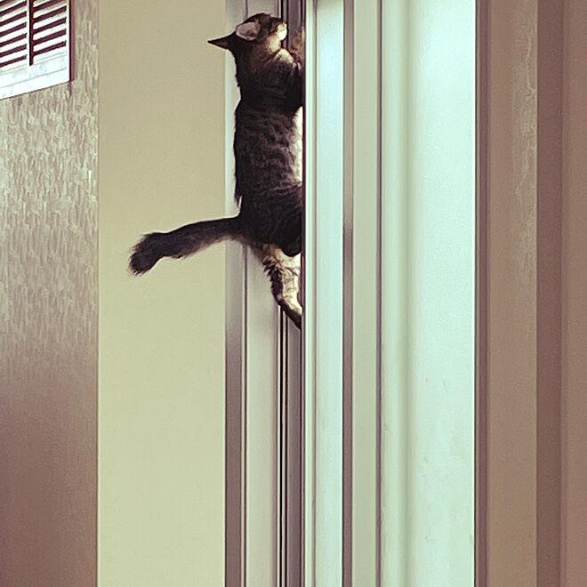 網戸を登る猫/網戸/廊下/ねこのいる日常/ねこが好き...などのインテリア実例 - 2021-07-29 15:54:23