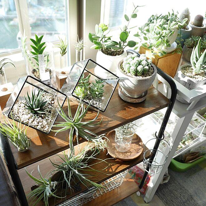 棚/観葉植物/植物/エアプランツ/チランジア...などのインテリア実例 - 2015-03-02 22:51:35