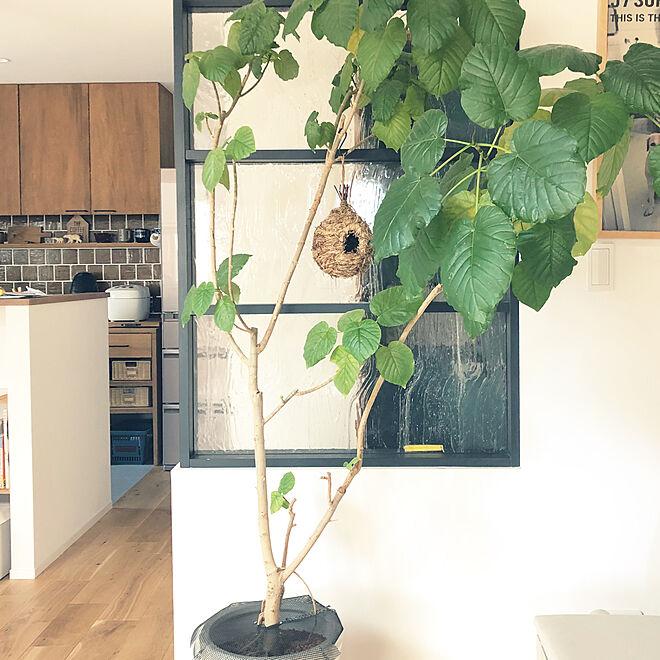 リビング/観葉植物/グリーンのある暮らし/ウンベラータ/室内窓...などのインテリア実例 - 2018-07-24 08:49:31